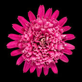 Violet Chrysanthemum Flower Isolated on Black — Stock Photo