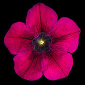 Purple Morning Glory Flower Isolated on Black — Stock Photo