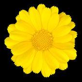 Beautiful Yellow Daisy Isolated on White — Stock Photo