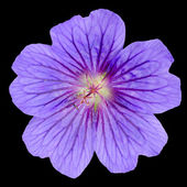 Beautiful Purple Geranium Flower with Isolated — Stock Photo