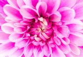 Pink chrysanthemum flower macro — Stock Photo