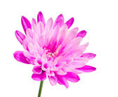 Pink chrysanthemum flower on green stick — Stock Photo