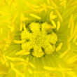 Ultra macro of Yellow Poppy Flower Center — Stock Photo