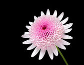 Pink Daisy with large center flower Isolated on black — Stock Photo