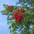 Bunches of rowan - Stock Photo