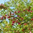 Stock Photo: Ripe apples on tree