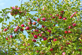Ripe apples on a tree — Stock Photo