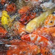 Beautiful golden koi fish in fish ponds — Stock Photo #10739343
