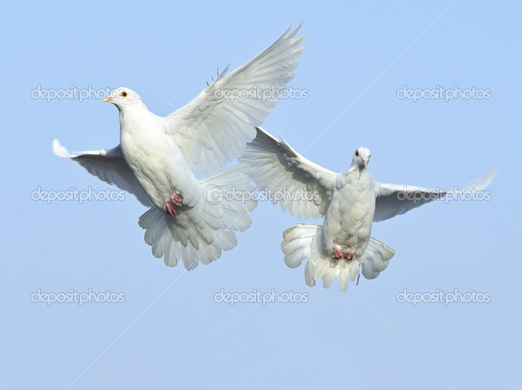 Two loving white dove in free flight under blue sky — Stock Photo #10739164