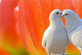 Loving white doves and beautiful tulip flowers — Stock Photo