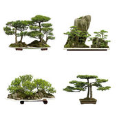 China Cedar bonsai — Stock Photo