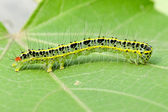 A cute caterpillar on leaf — 图库照片