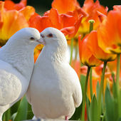 Two loving white doves and beautiful tulip flowers — Стоковое фото