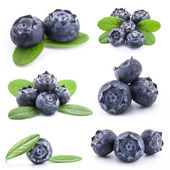 Collection of Blueberries — Stock Photo
