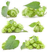Collection of Hops — Stock Photo