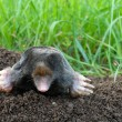 Mole and molehill on garden — Stock Photo #10956095
