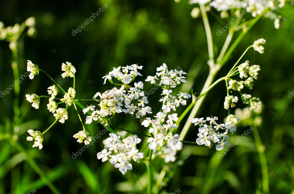 Small beautiful white flowers on meadow close up — Stock Photo #10849004