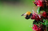 Bumblebee on flower — Stock Photo