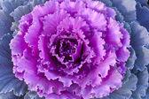 Purple decorative cabbage. — Stock Photo