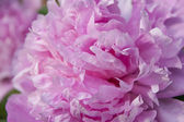 The pink peony es esponjoso. — Foto de Stock