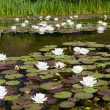 Water lily (Nymphaea alba) in the pond — Stock Photo
