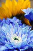 Macro of blue flower aster — Stock Photo