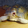 Big tortoise yawns — Stock Photo