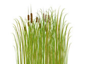 Rush and grass isolated on white background — Stock Photo