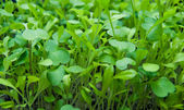 Tender micro greens sprouting — Stock Photo