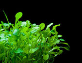 Tender micro greens on black — Stock Photo