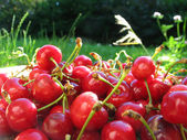 Heap of fresh cherries in sunlit garden — Stock Photo