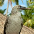 Stock Photo: Red-Footed Booby