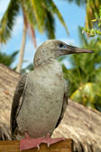 Red-Footed Booby — Stock Photo