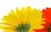 Yellow and red gerbera with water droplets view from under — Stock Photo