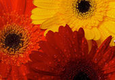 Red, Orange and Yellow gerbera background — Stock Photo