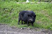 Cerdo vietnamita — Foto de Stock