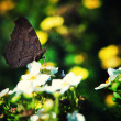 Black butterfly — Stockfoto