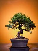 Bonsai Juniper — Stock Photo