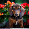 Dachshund in a garden — Stock Photo #11986903