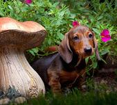 Dachshund in a garden — Stock Photo