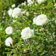 Shrub white Roses — Stock Photo