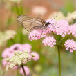 Butterfly pollinating a flower — Stock Photo