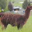 Dark Brown Lama - Stock Photo