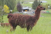 Dark Brown Lama — Stock Photo