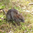 Stock Photo: Small, brown field mouse
