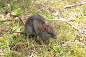 A small, brown field mouse — Stock Photo