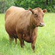 Stock Photo: A large brown dairy cow in the pasture