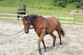 Close on A Brown Mare Exercising — Stock Photo