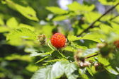 Salmon Berry or Salmonberry — Stock Photo