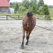 A Mare exercises in his corral. - Stock Photo